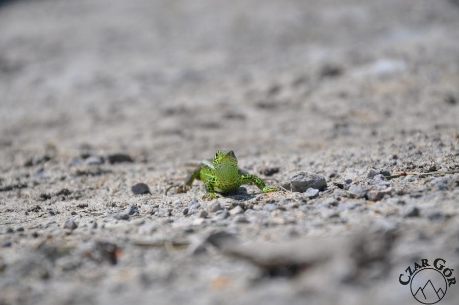 Jaszczurka zielona