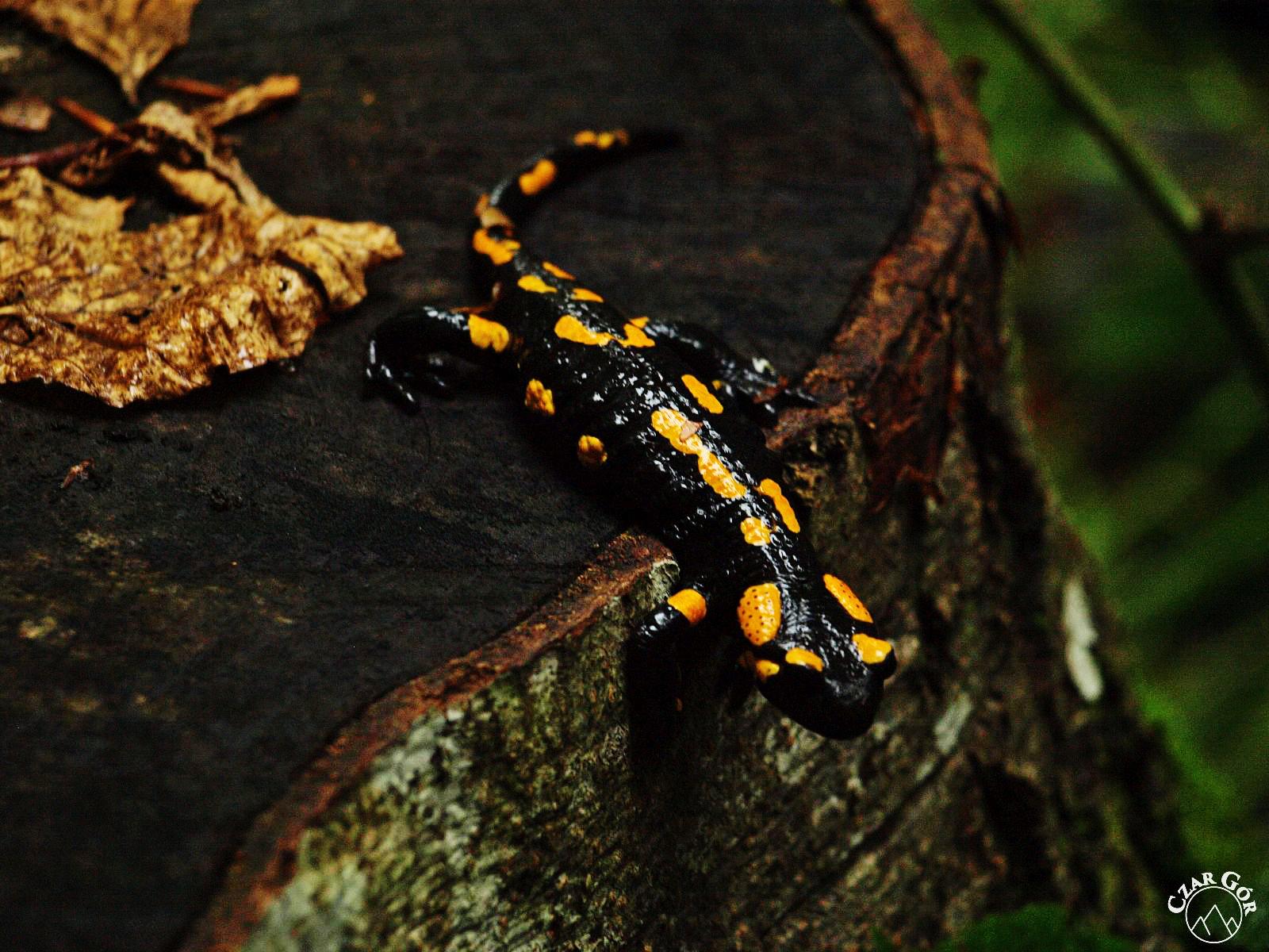 Salamandra Plamista