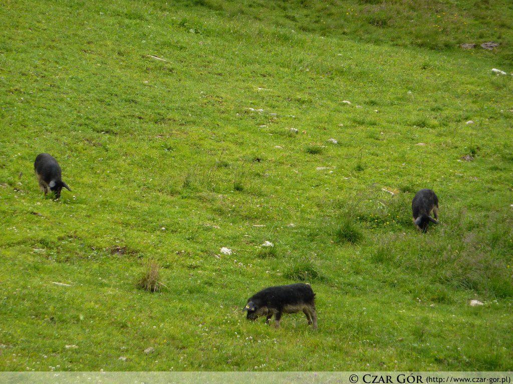 Świnie przy schronisku Ahornhütte