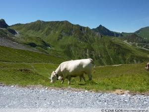Szlak zejściowy, spotkanie z krowami