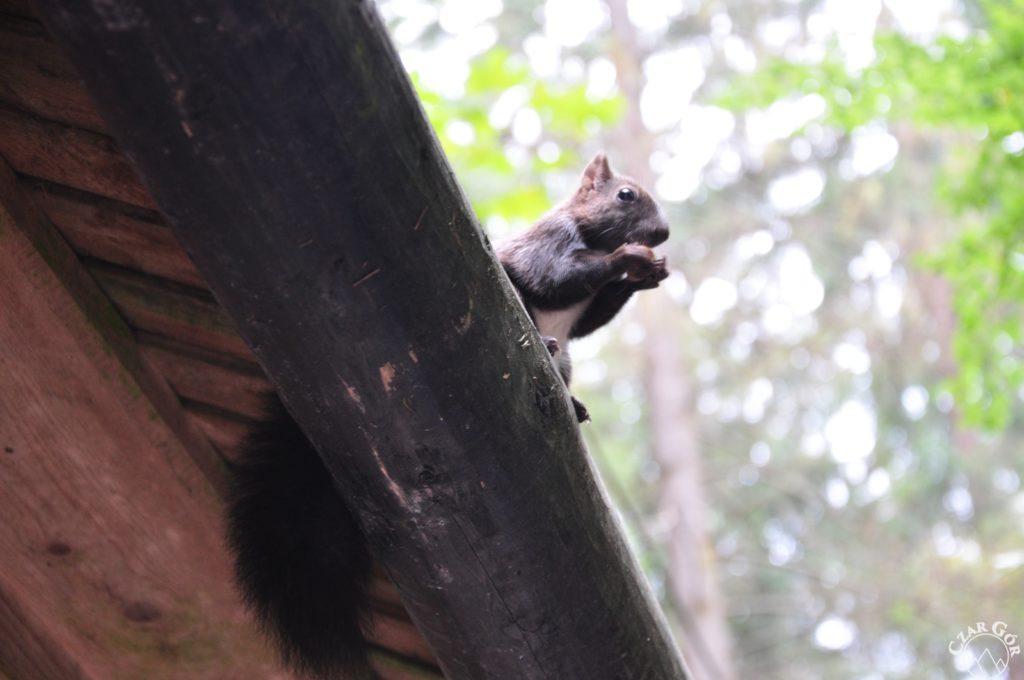Wiewiórka. Główny bileter na Polanie Strążyskiej