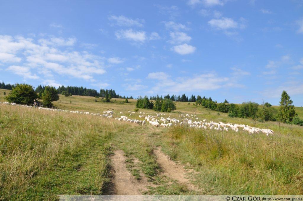 Wypas owiec na Durbaszce