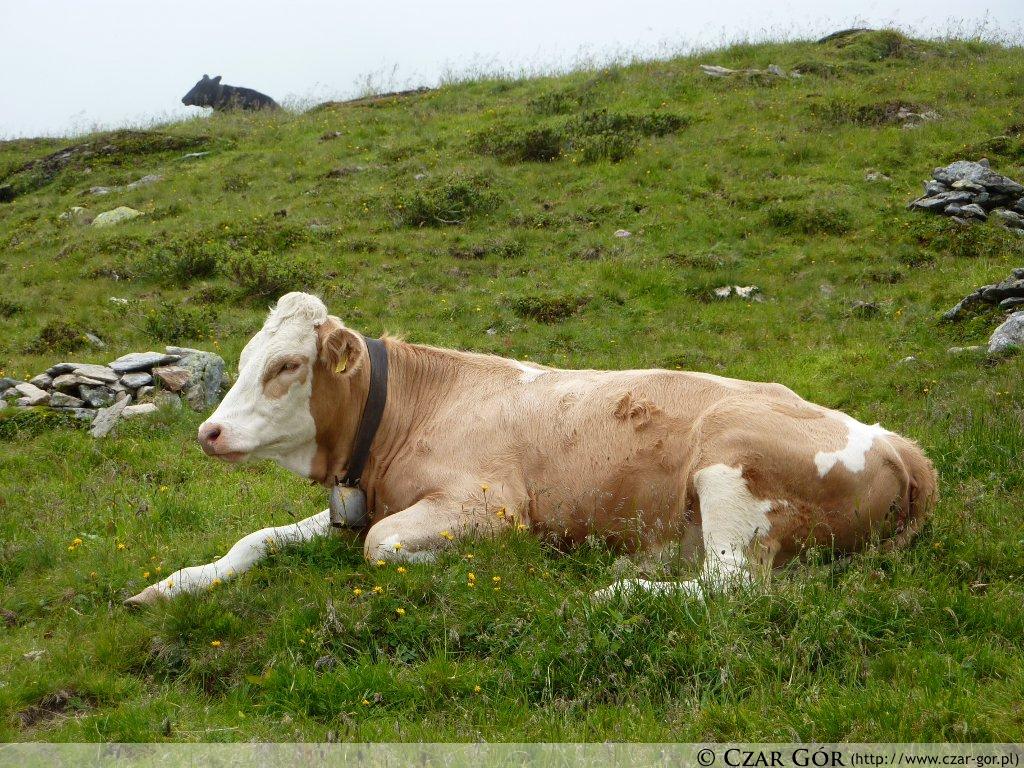 Krowy na szlaku :)