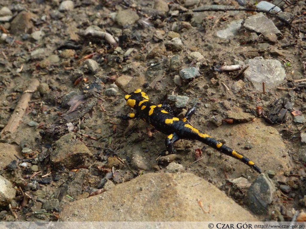 Salamandra spotkana na szlaku